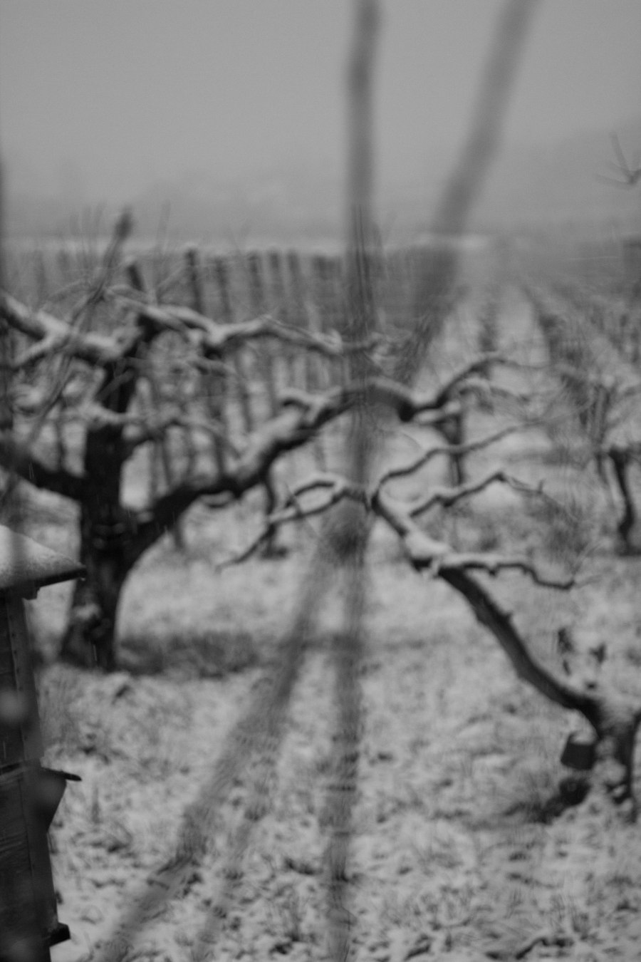 snow on vines (2 of 1)